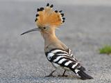 عکس پرنده هدهد شانه به سر