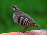 عکس زیبا از پرنده کبک ماده