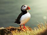 عکس طوطی دریایی یا پرنده اسکل