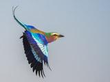 عکس پرواز پرنده سبز قبا