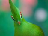پرنده بهشتی توراکو
