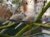 عکس دو پرنده یاکریم روی درخت