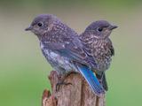 عکس دو پرنده آبی زیبا کمیاب