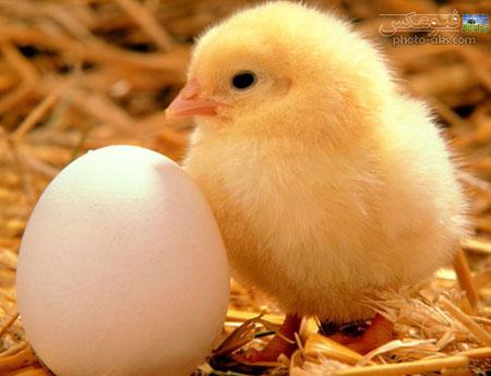 جوجه زرد و تخم مرغ yellow chicken eggle