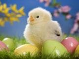 عکس جوجه زرد و تخم مرغ رنگی