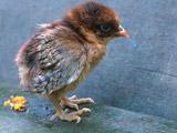 عکس جوجه مرغ طبیعی قهوه ای