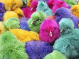 عکس جوجه های رنگی
