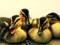 عکس جالب از جوجه اردک ها