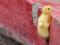 جوجه اردک کوهنورد