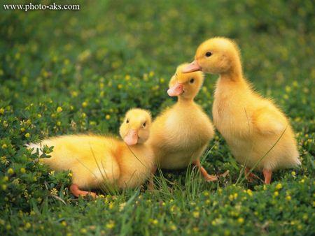 سه جوجه اردک زرد رنگ baby duck yellow