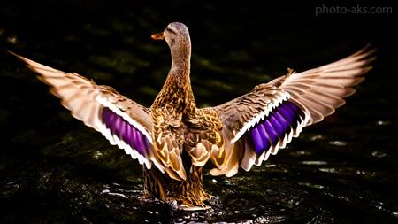 تصویر اردک زیبا beautiful ducks