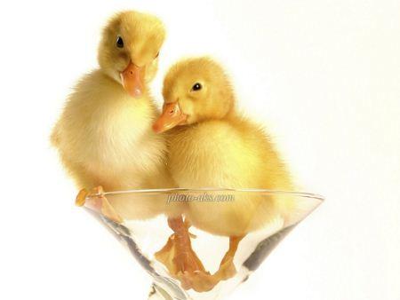 جوجه اردک زرد ناز  yellow duck baby
