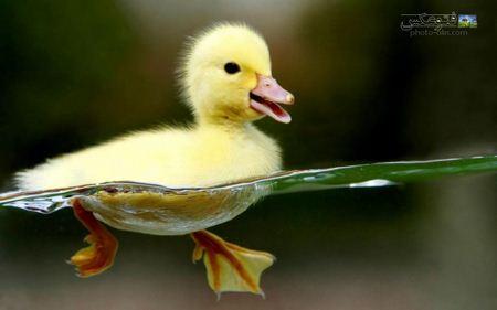 عکس جالب جوجه اردک jojeh ordak