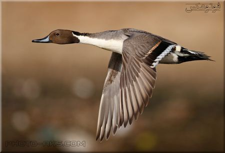 زیباترین عکس پرواز اردک Flying Duck