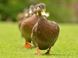 عکس رژه اردک ها