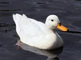 عکس اردک سفید