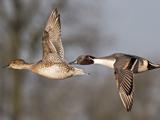 عکس زیبا از پرواز اردک ها