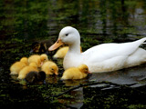 عکس جوجه اردکها کنار مادر