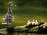 پوستر زیبا از اردک ها