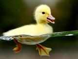 عکس جالب جوجه اردک