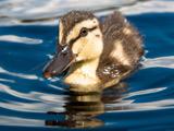 جوجه اردک کوچولو روی آب