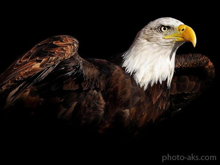 عکس عقاب سر سفید eagle wallpaper