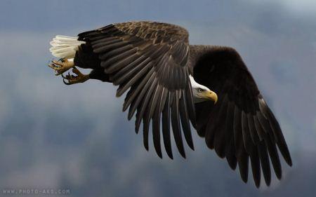 عکس عقاب بزرگ در حال پرواز Great Eagle flying