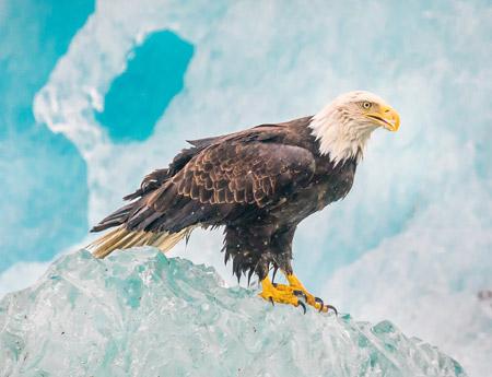 عکس پرنده عقاب درنده روی کوه یخ eagle bird ice