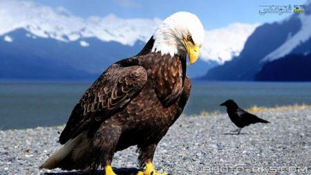 زیباترین عکس عقاب eagle photo gallery