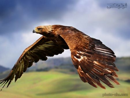 پرواز عقاب بزرگ big eagle fly