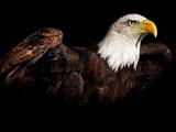 عکس عقاب سر سفید