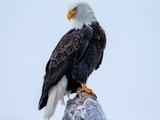 والپیپر عقاب سر سفید بزرگ