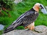 عکس عقاب بزرگ با چشمان قرمز