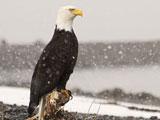 پوستر پرنده عقاب زیبا