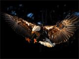 شکار عقاب خاکستری