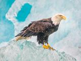 عکس پرنده عقاب درنده روی کوه یخ