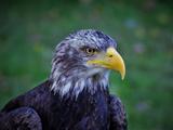 عکس عقاب پرنده شکاری درنده