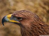 چشمان عقاب