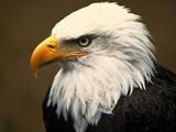 عقاب پرنده شکاری مغرور