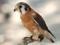 پرنده شاهین