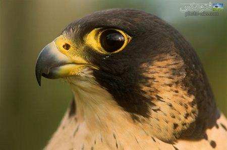 عکس صورت شاهین falcon face wallpaper