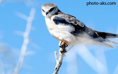 زیباترین عکس شاهین ها hawk bird on tree