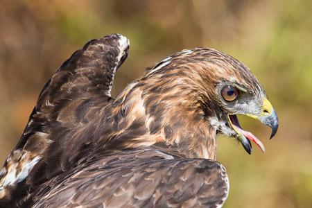 عکس شاهین شکاری red hawk bird