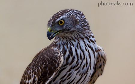 عکس های با شکوه از شاهین ها birds falcon