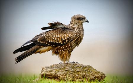 عکس زیبا پرنده شاهین روی سنگ falcon on stone