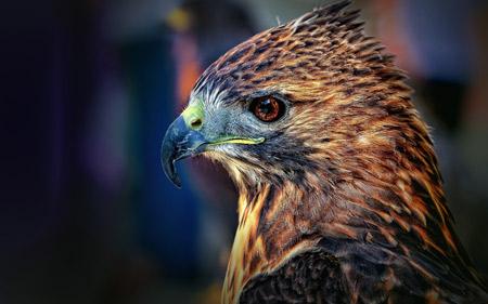 عکس شاهین با منقار درنده falcon bird beak predator