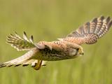 عکس پرواز پرنده شکاری قرقی