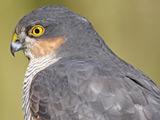 عکس سر پرنده شکاری شاهین