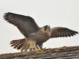 پرنده شاهین با بالهای باز