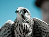 عکس پرنده شاهین سفید